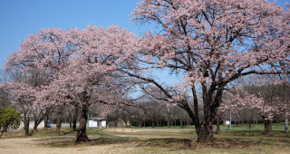 公益財団法人日本花の会 結城農場・桜見本園